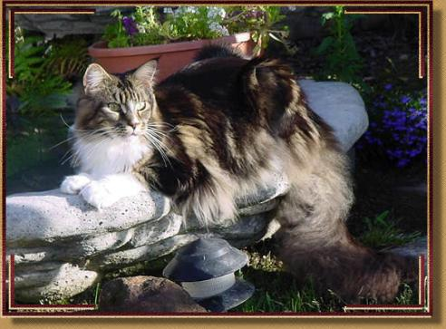 Maine Coon Cats WhatATrill Maine Coons Northern California